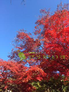北海道 紅葉 もみじ